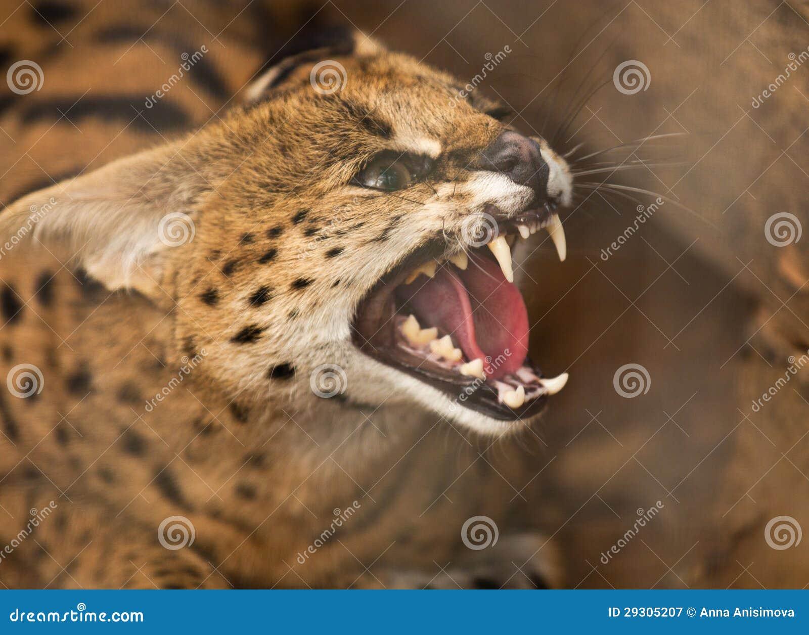 Gniewny dziki kot