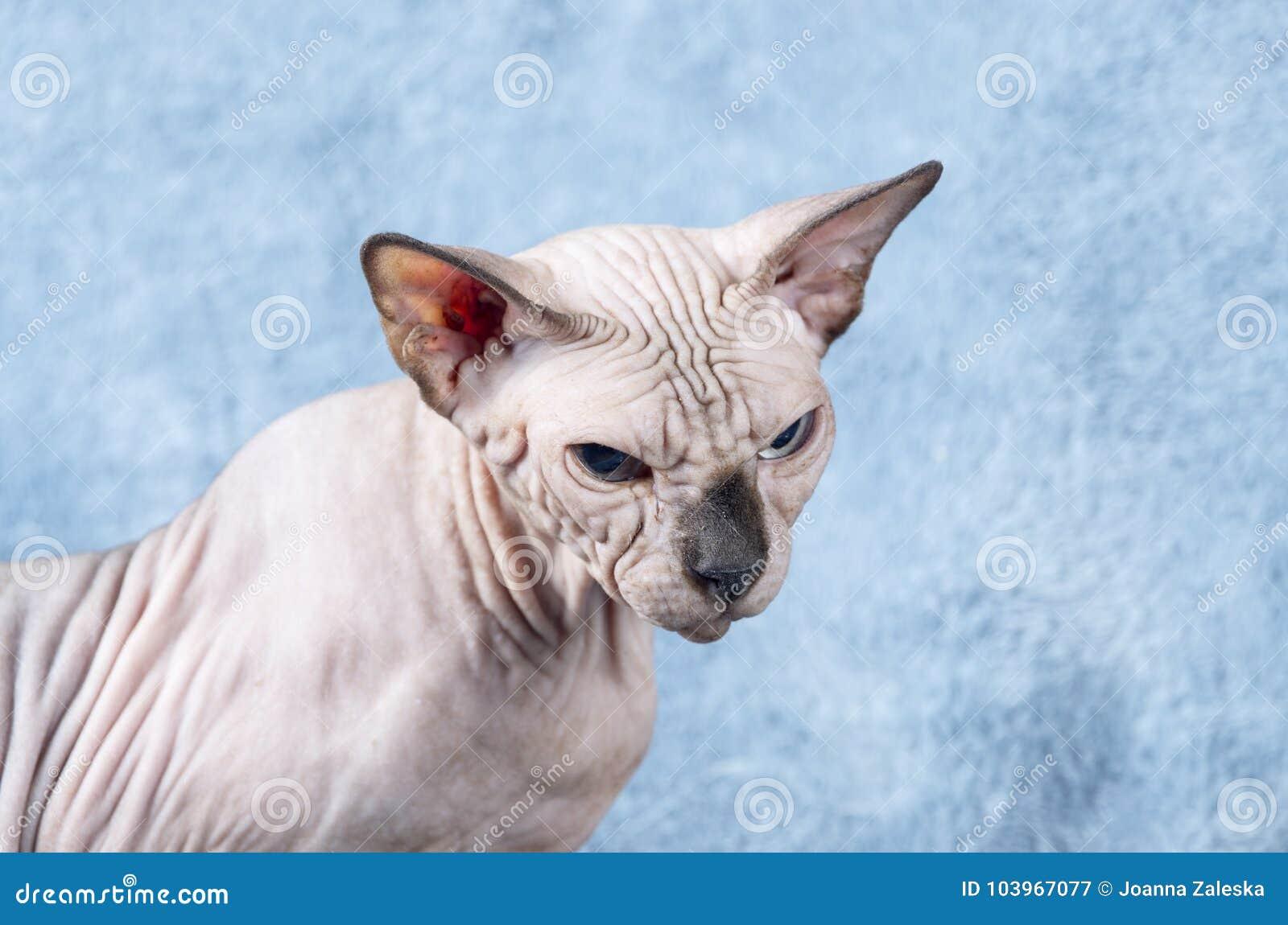 Gniewny Kanadyjczyka Sphynx Kot Obraz Stock Obraz Złożonej Z Nude