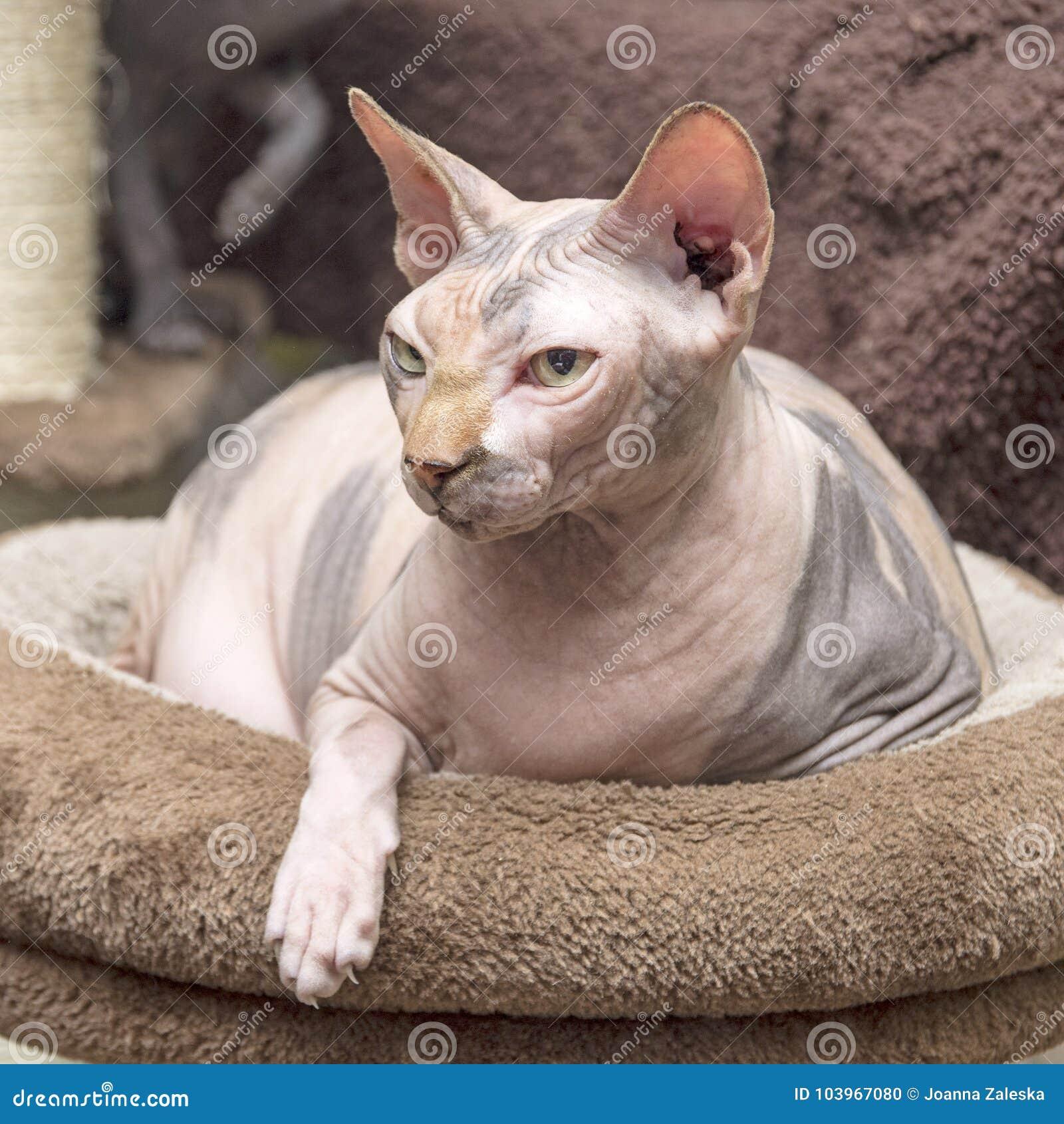 Gniewny Kanadyjczyka Sphynx Kot Zdjęcie Stock Obraz Złożonej Z