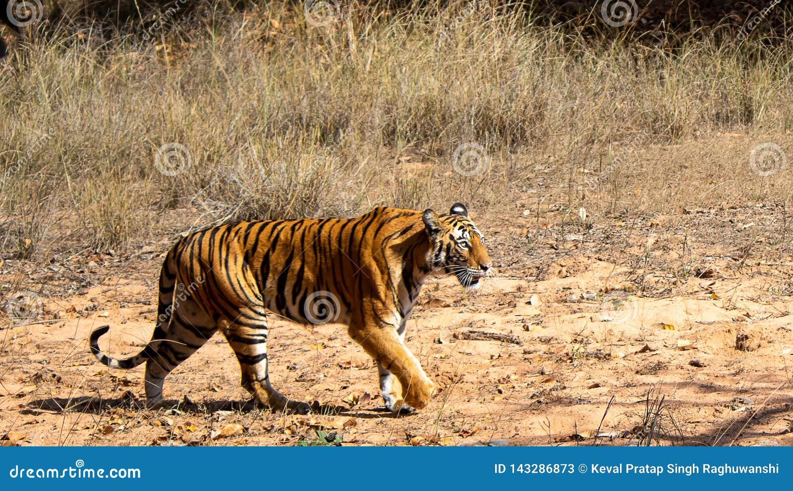 Gniewny tygrys w lesie
