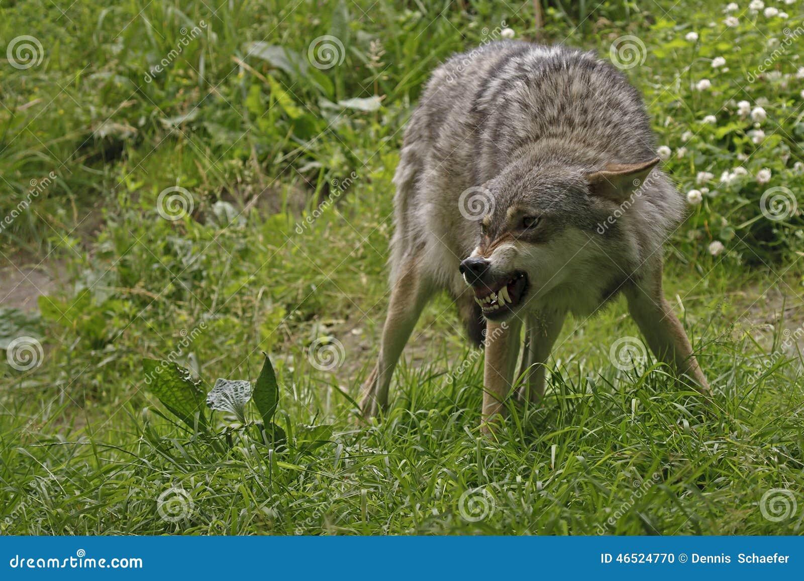 Gniewny wilk