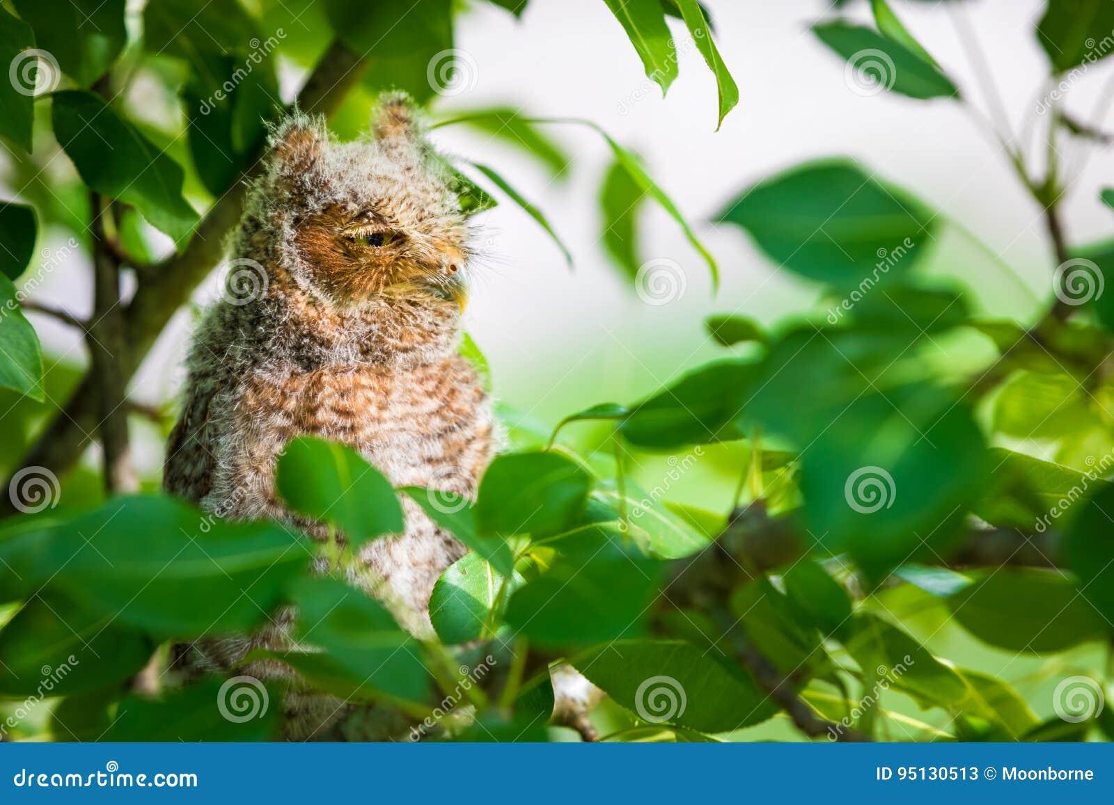 Gnissel Owl Looking Away