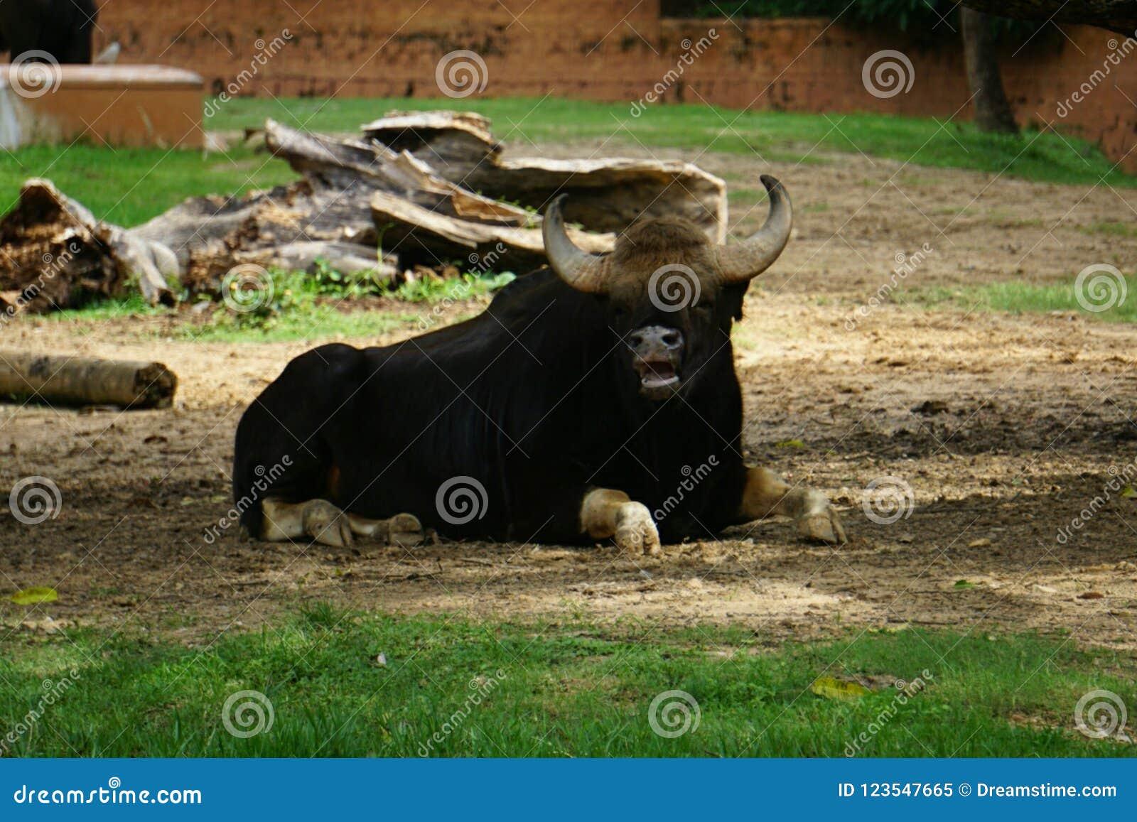 Gnuśny byk