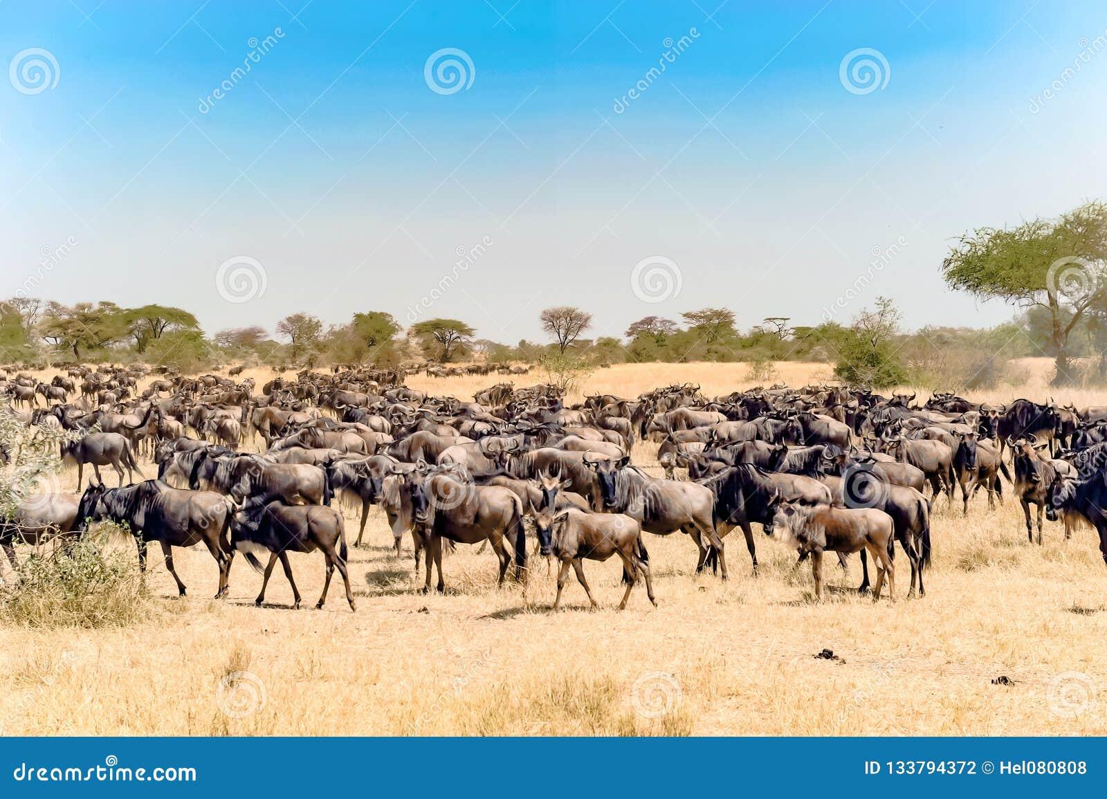 Gnu - Gnus zur großen Migrationszeit in der Savanne von Serengeti, Tansania, Afrika