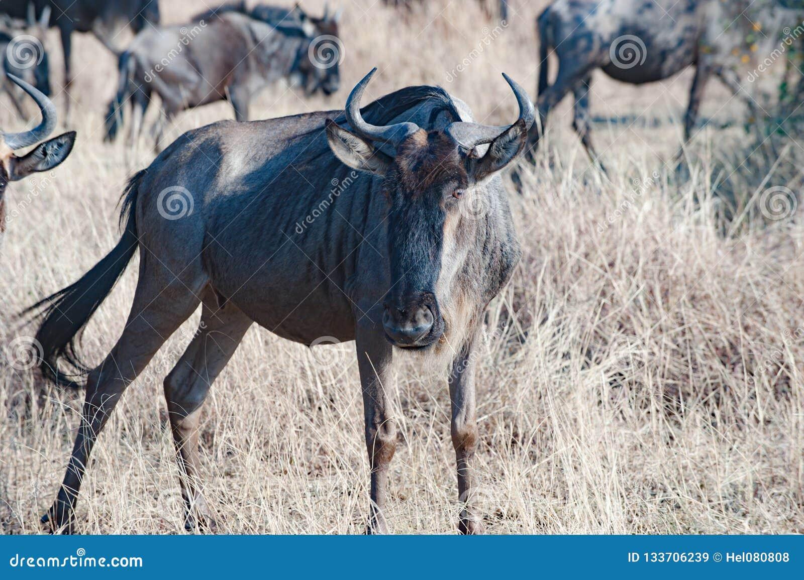 Gnu no savana da planície de Serengeti, Tanzânia