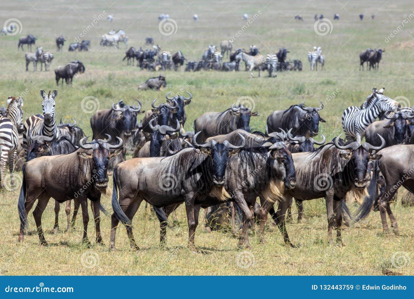 Gnu und Zebras im Serengeti während der großen Migration