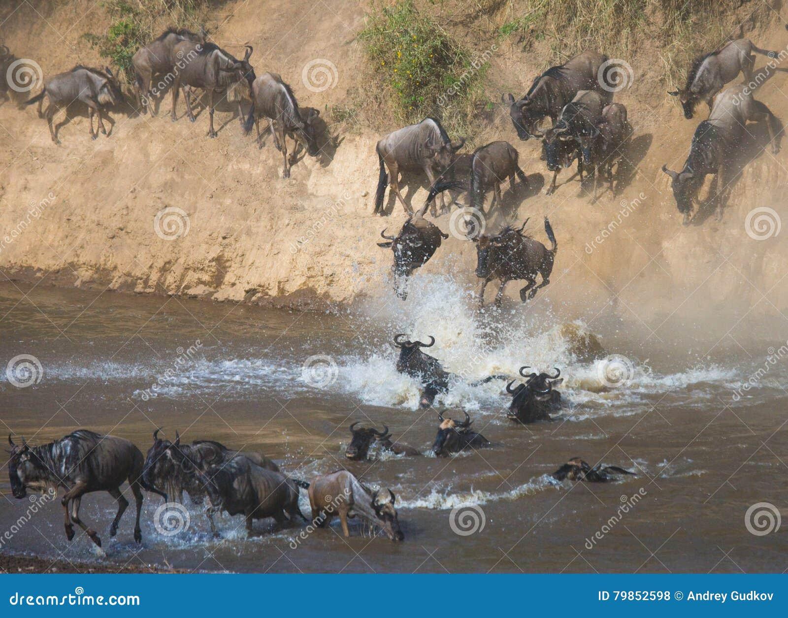 Gnubanhoppning in i Mara River stor flyttning kenya tanzania Masai Mara National Park