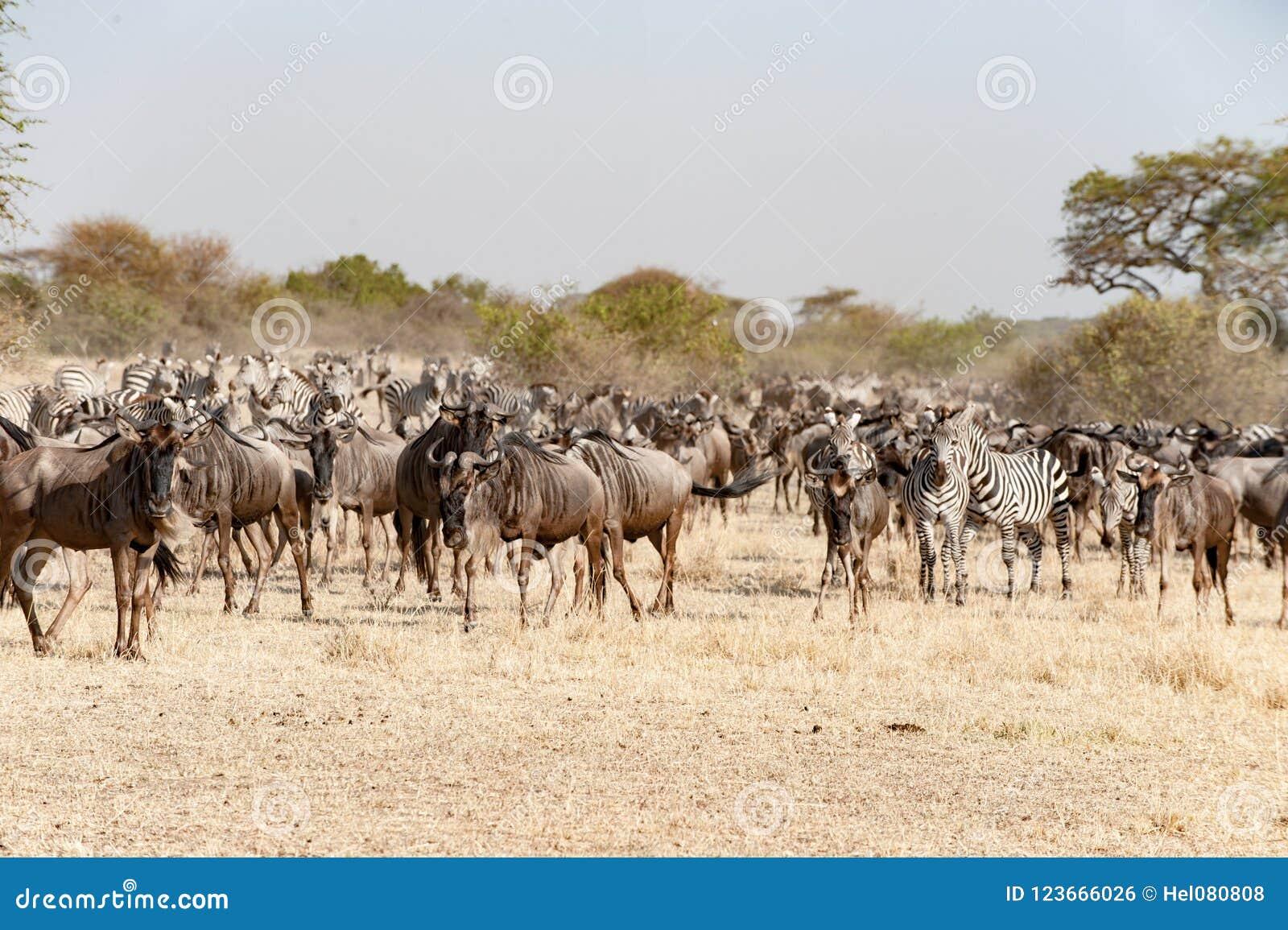 Gnus und Zebras zur großen Migrationszeit in Serengeti, Afrika, hundrets von Gnus zusammen
