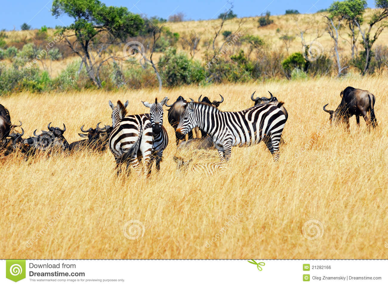 Gnus and zebras