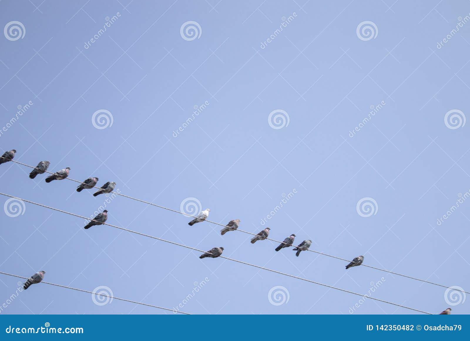 Gołębie siedzą na liniach energetycznych