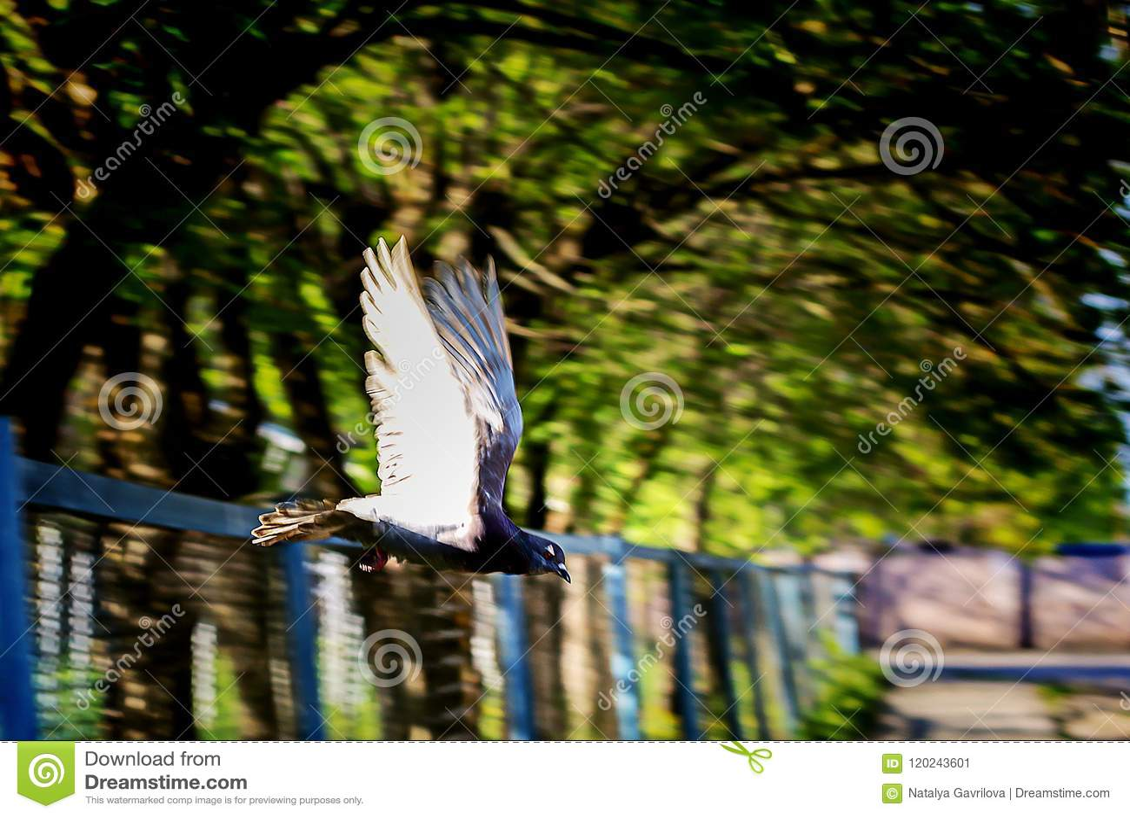 Gołąb w locie, w parku