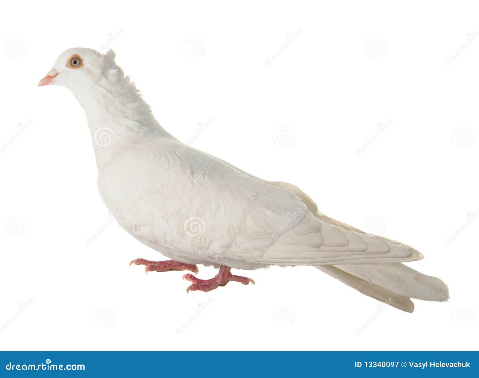 Gołąbka