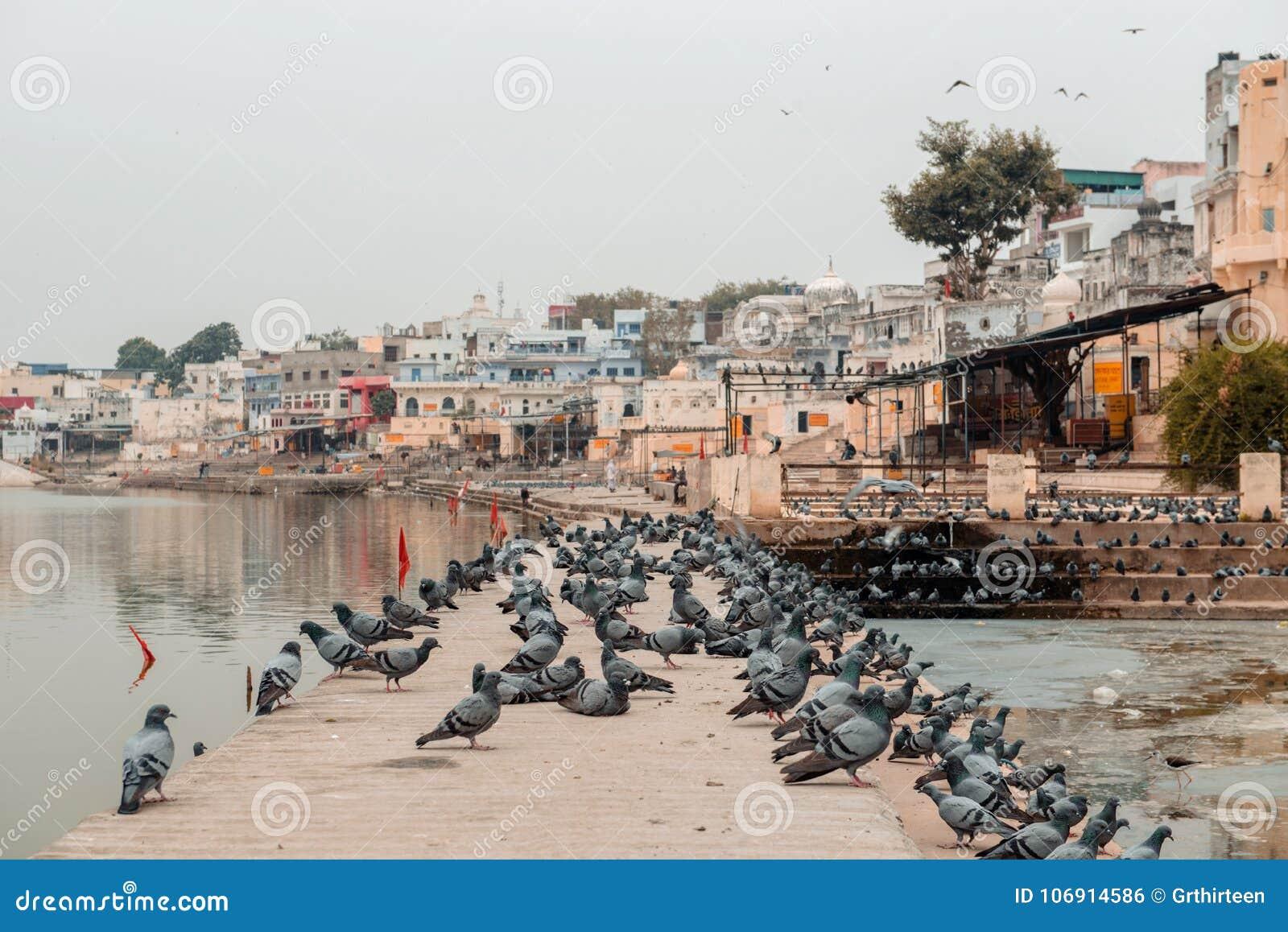 Gołębie blisko świętego jeziora w Pushkar, India
