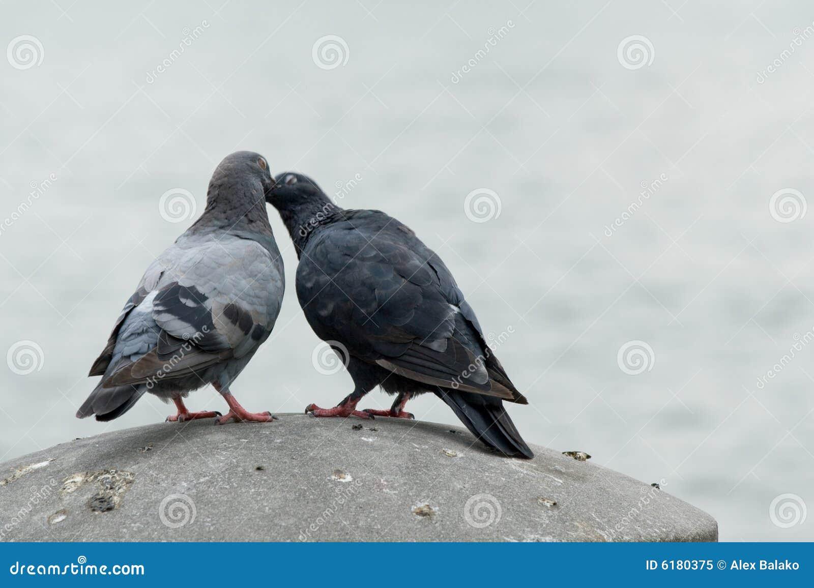 Gołębie miłości