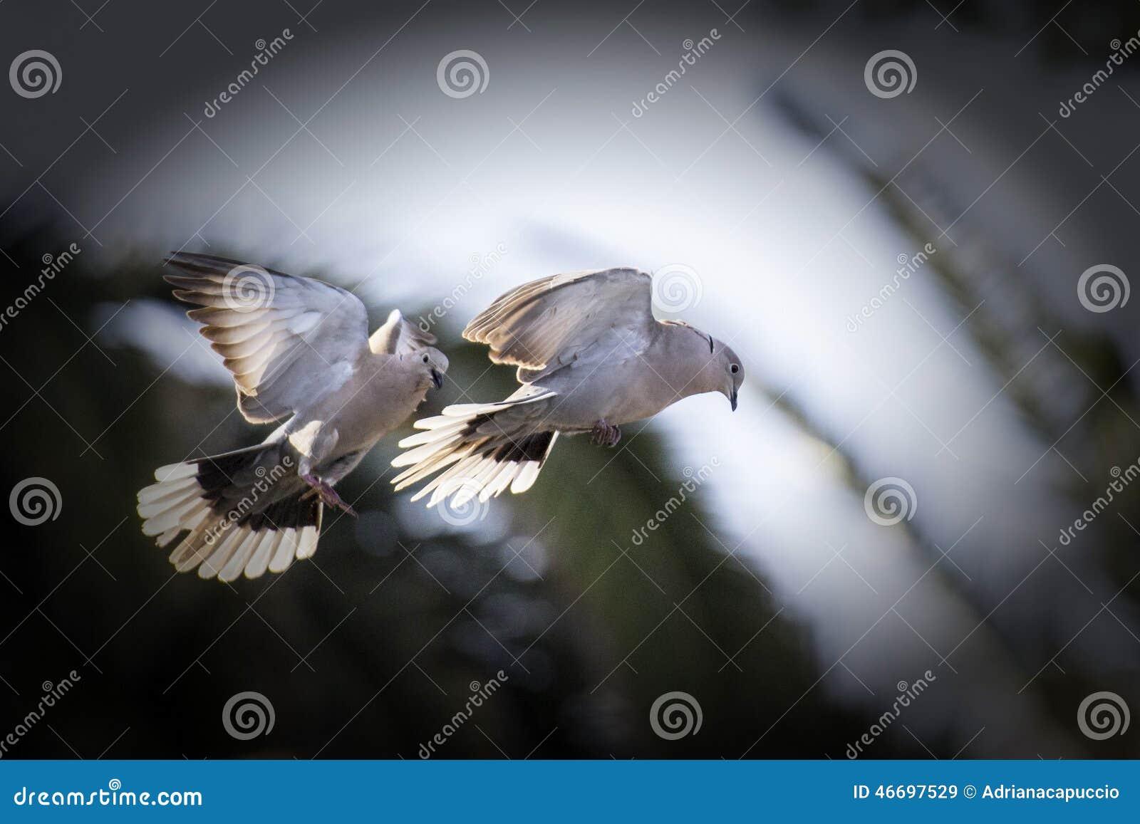 Gołębie W Miłości