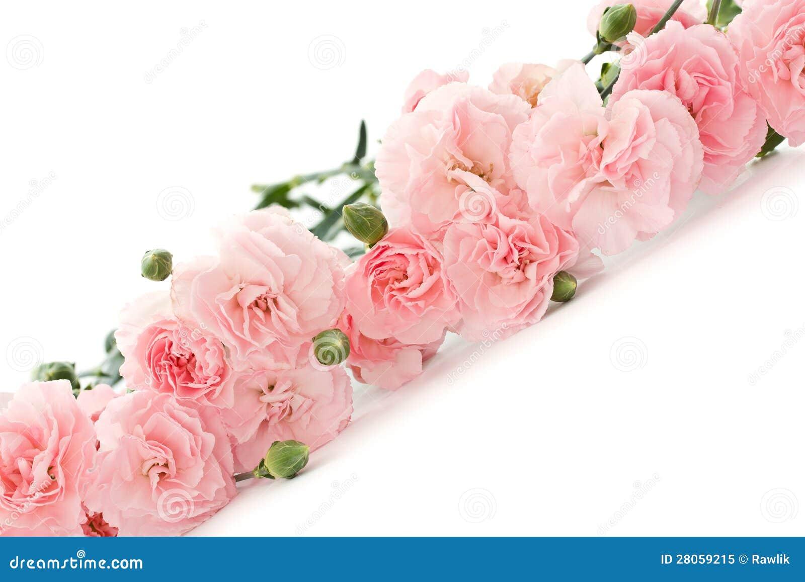 Goździków kwiaty