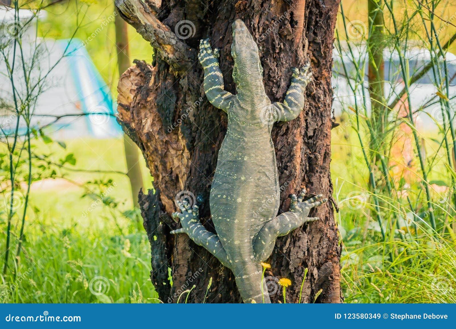 Goanna-Warane der Klasse Varanus, einen Baum kletternd