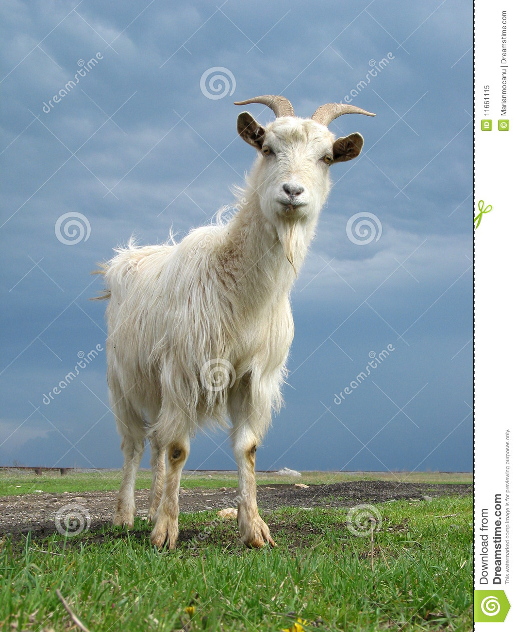 Download Goat stock image. Image of grass, hairy, clouds, mature - 11661115