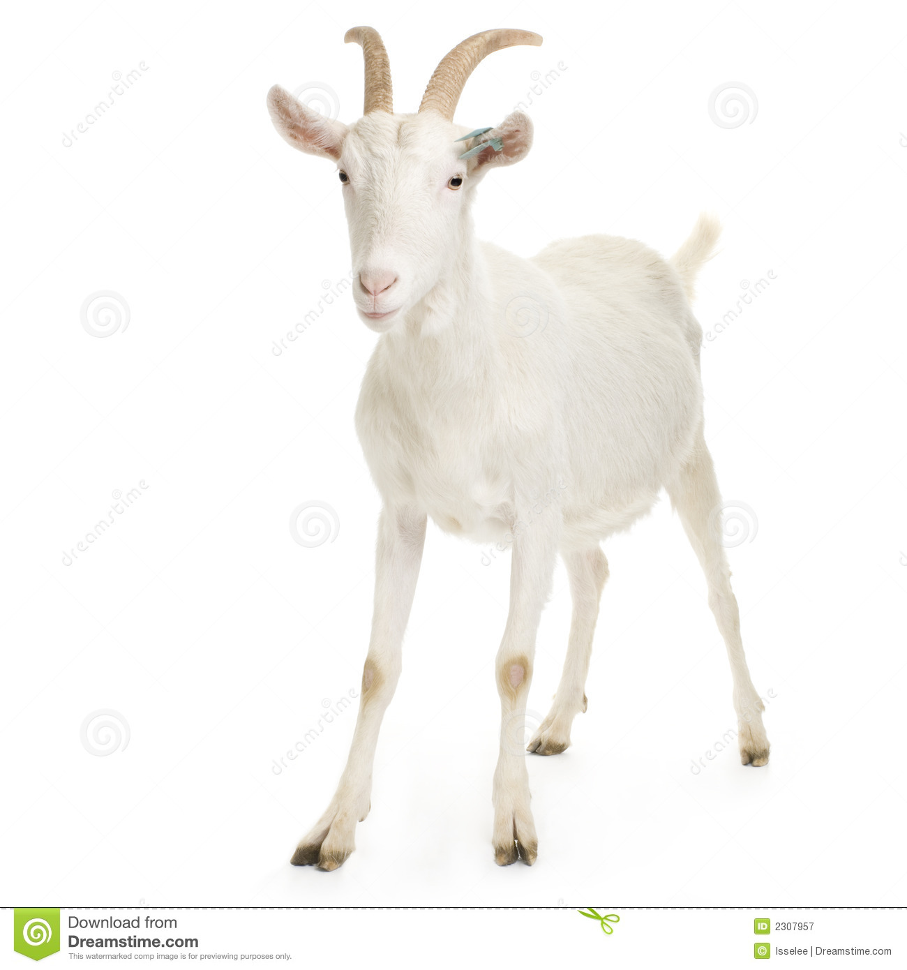 Goat stock image. Image of agriculture, vertebrate, cattle - 2307957  One Goat White Background