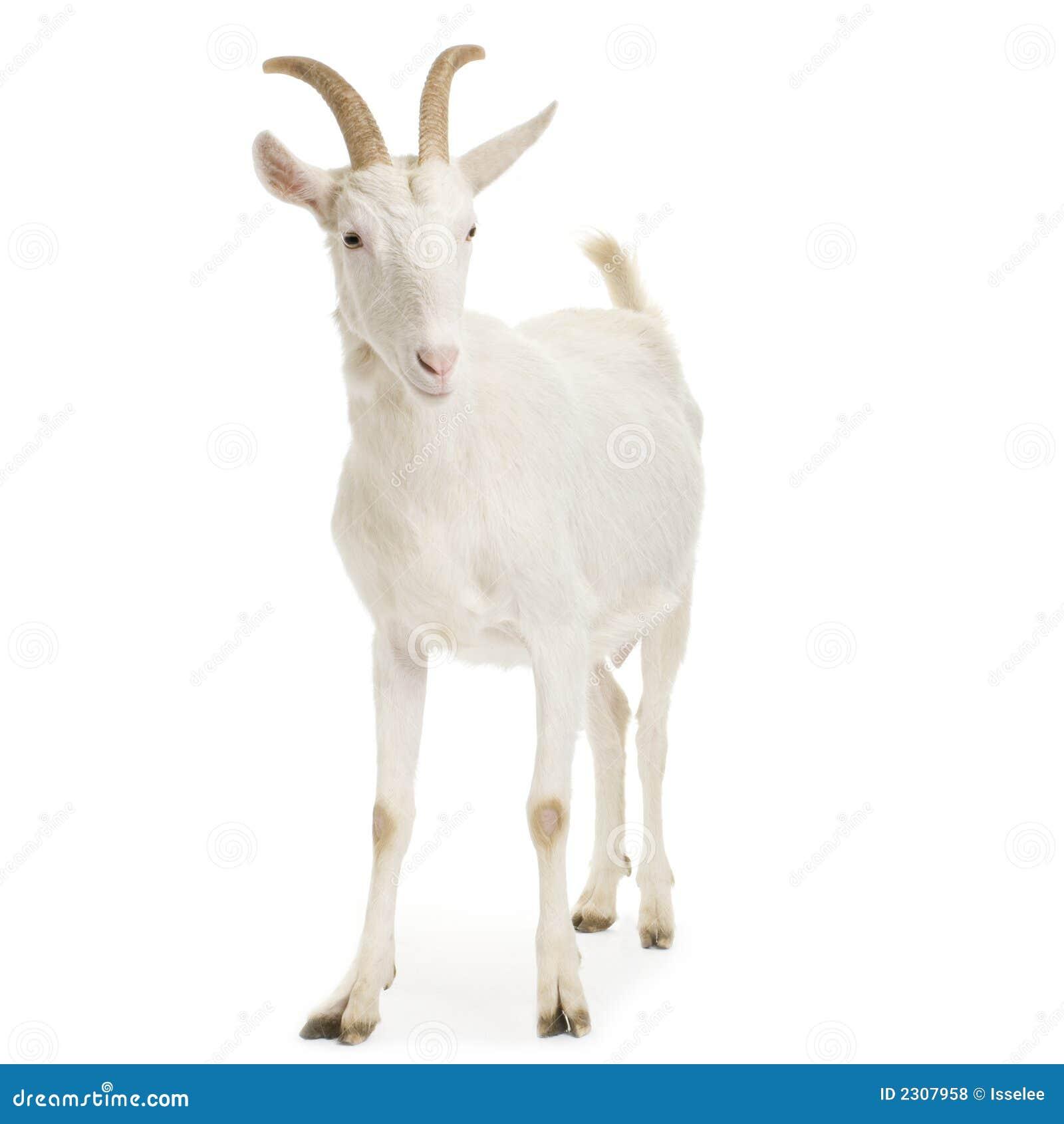 Goat stock photo. Image of studio, vertebrate, goat ...  One Goat White Background