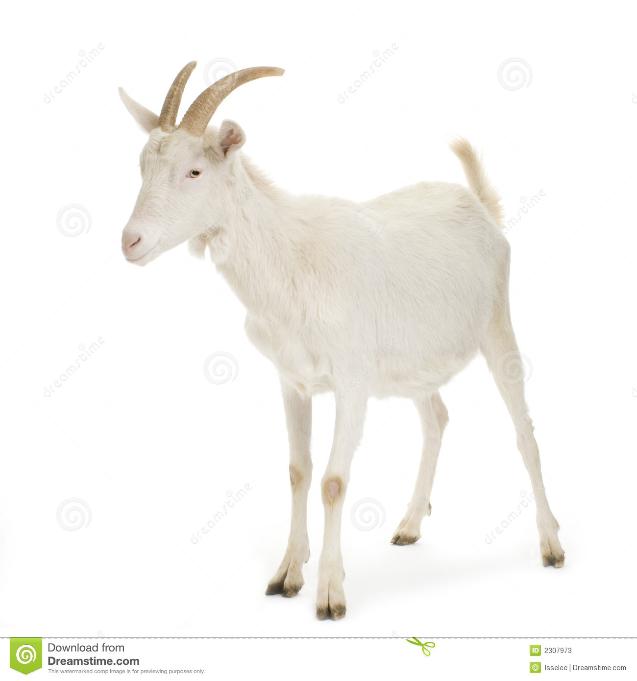 Goat standing up isolated on a white background.