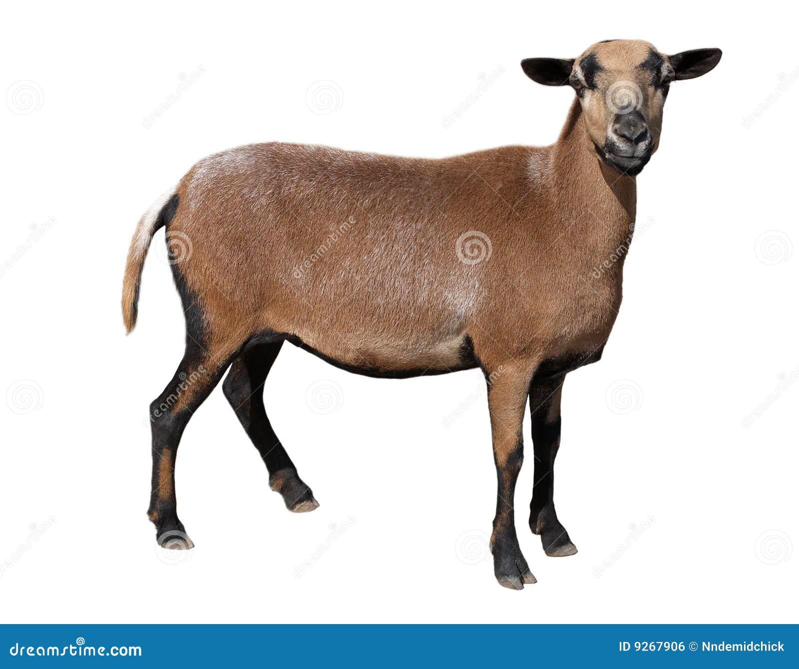Market Goat Clip Art Goat royalty free stock image