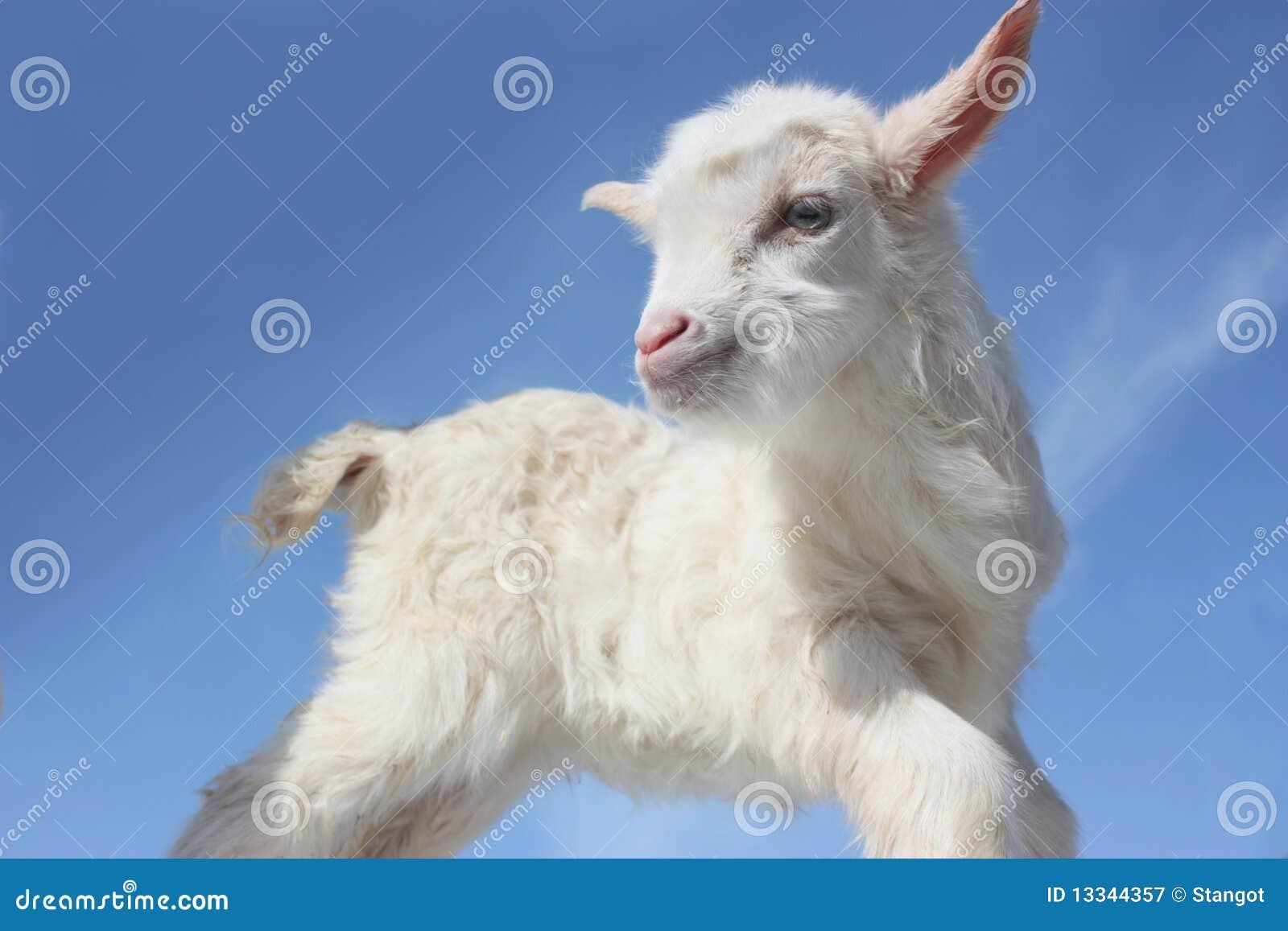 Goat baby