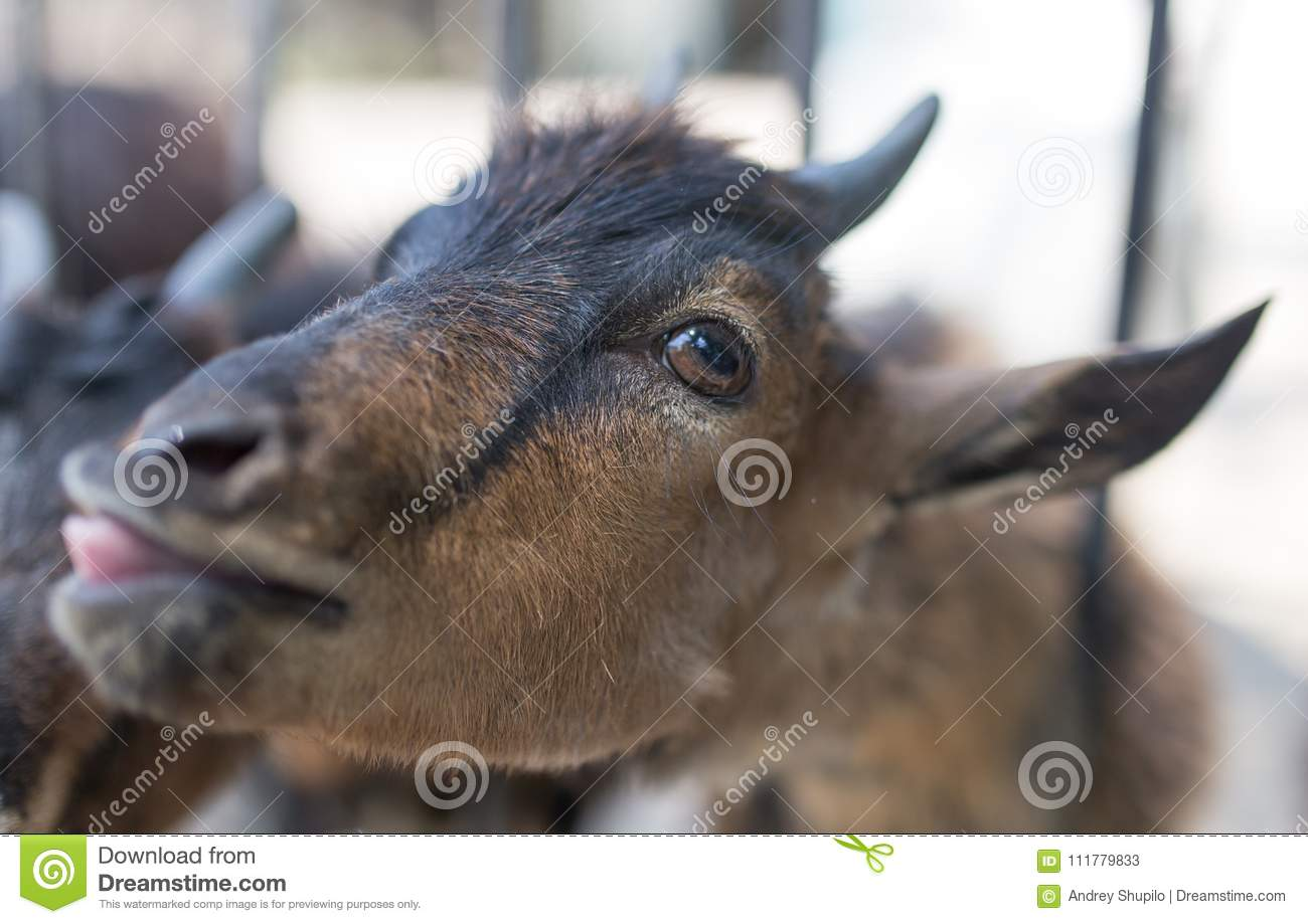Goat behind a fence in zoo