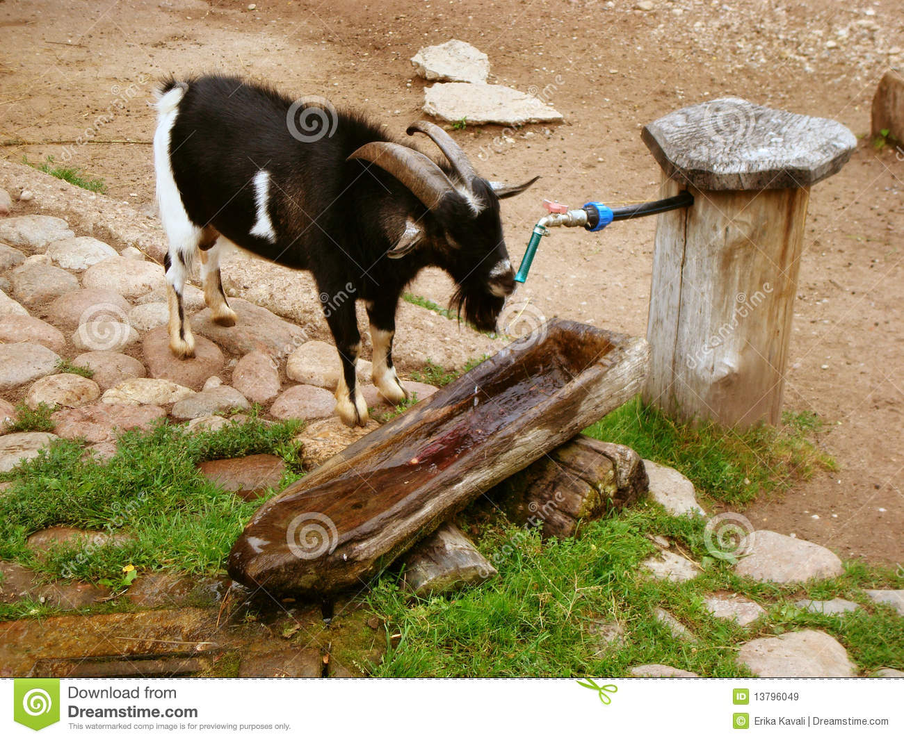 goat drinking water stock image image of goat country 13796049