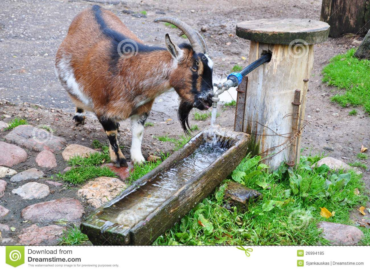 goat drinking water stock image image of life horn 26994185
