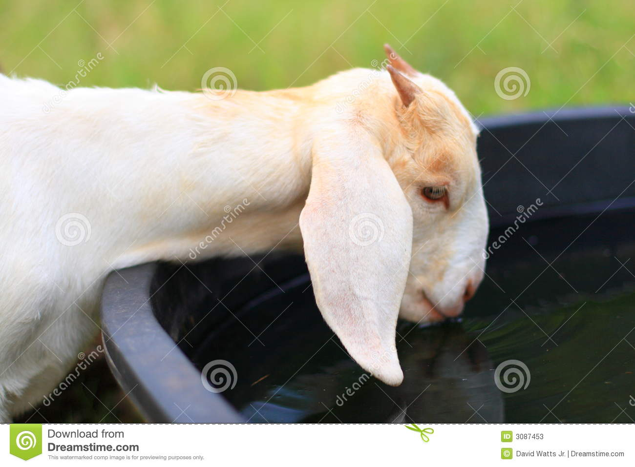 goat drinking water stock image image of water nourishment 3087453