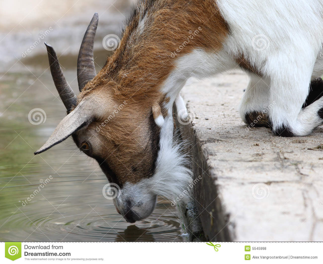 goat drinking water stock photo image of quench mammal 5545998