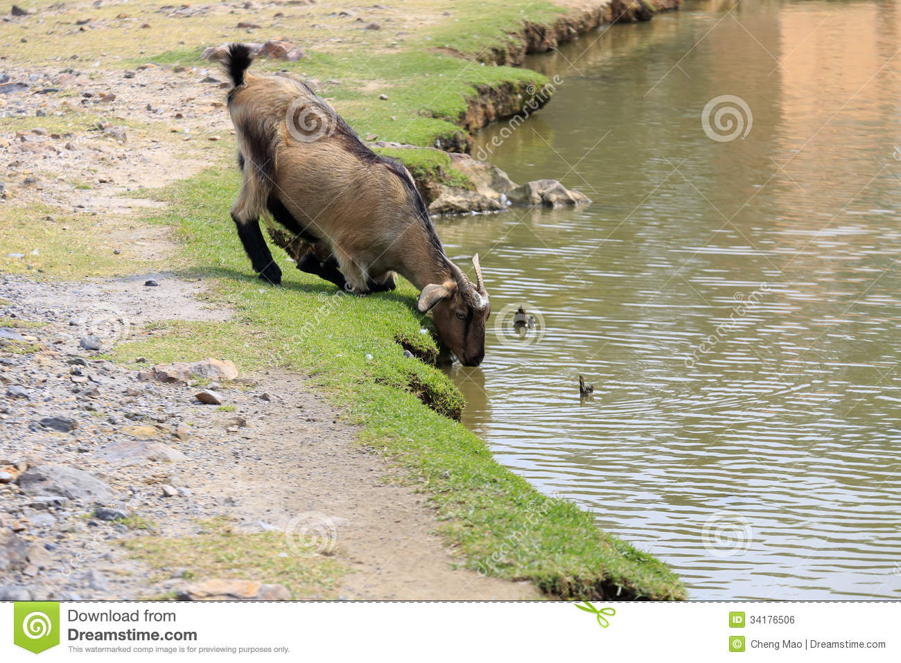 goat drinking water stock photos download 84 images