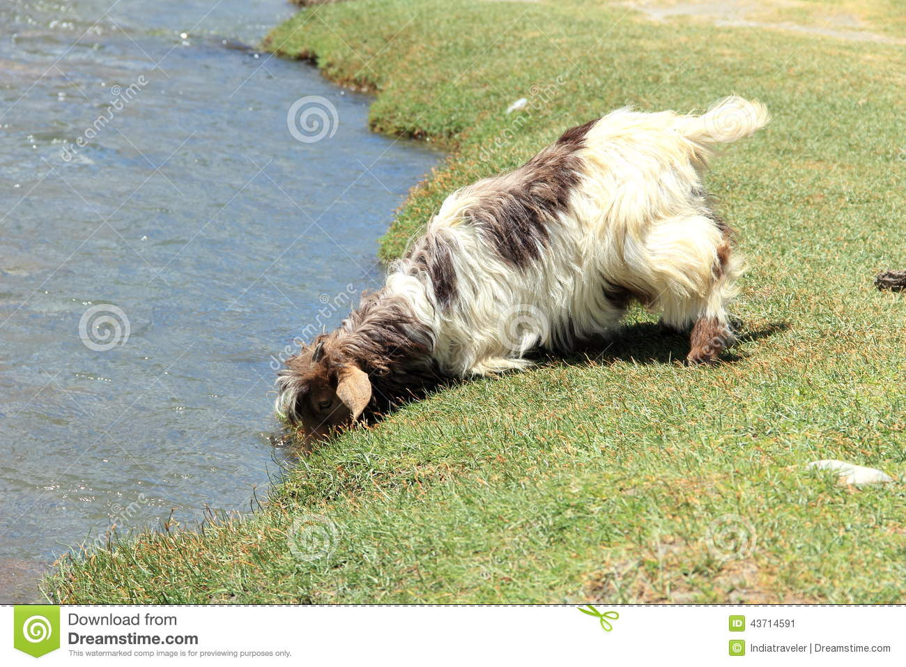 goat drinking water stock image image of mammal horn 43714591