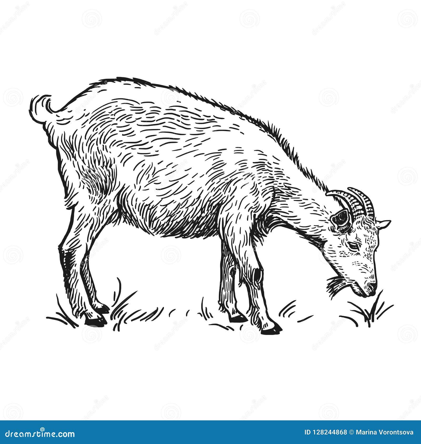 Goat  Farm Animal  Isolated Realistic Handmade Drawing