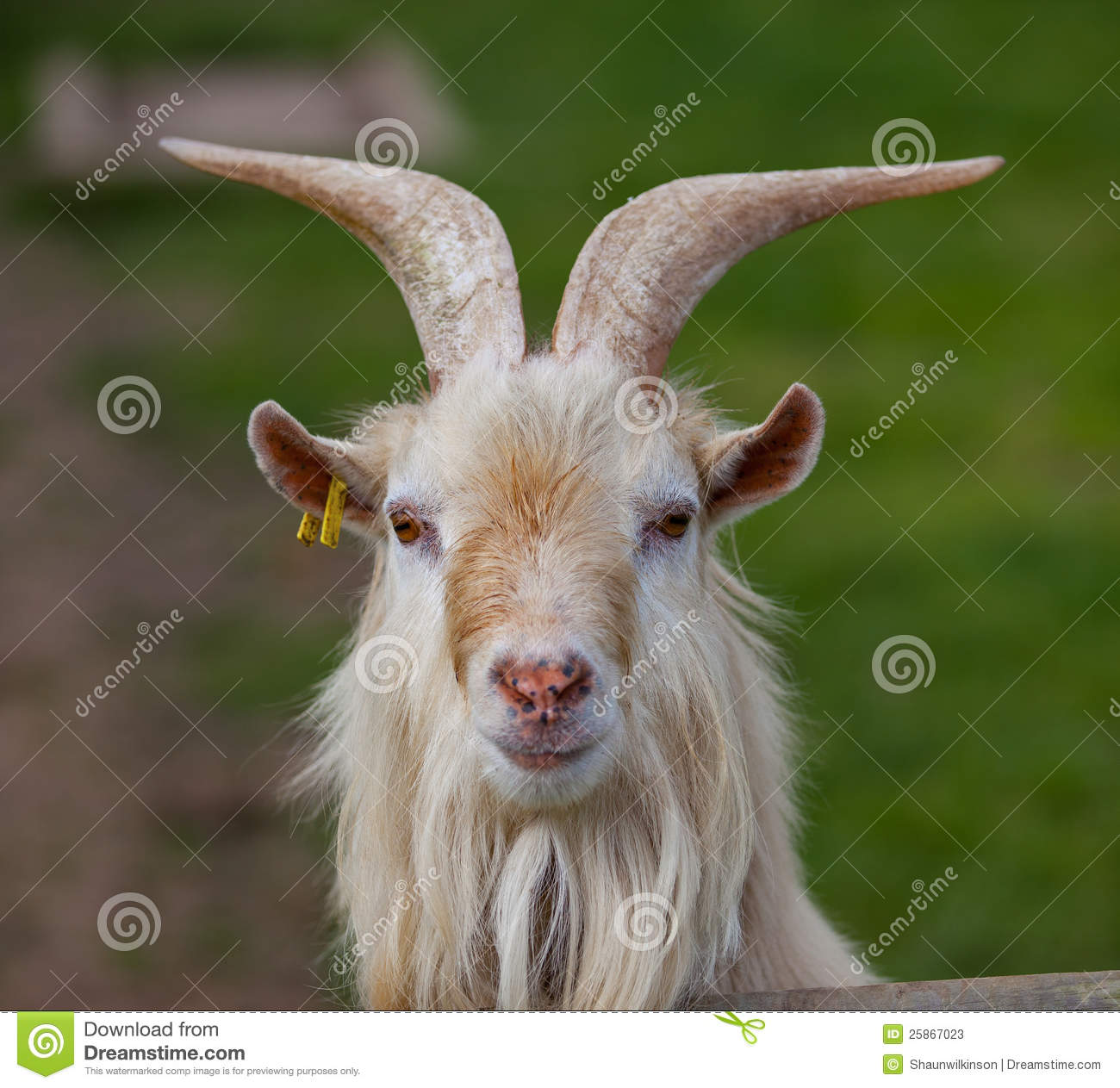 Goat Head On Stock Image Of Play Spring Headshot