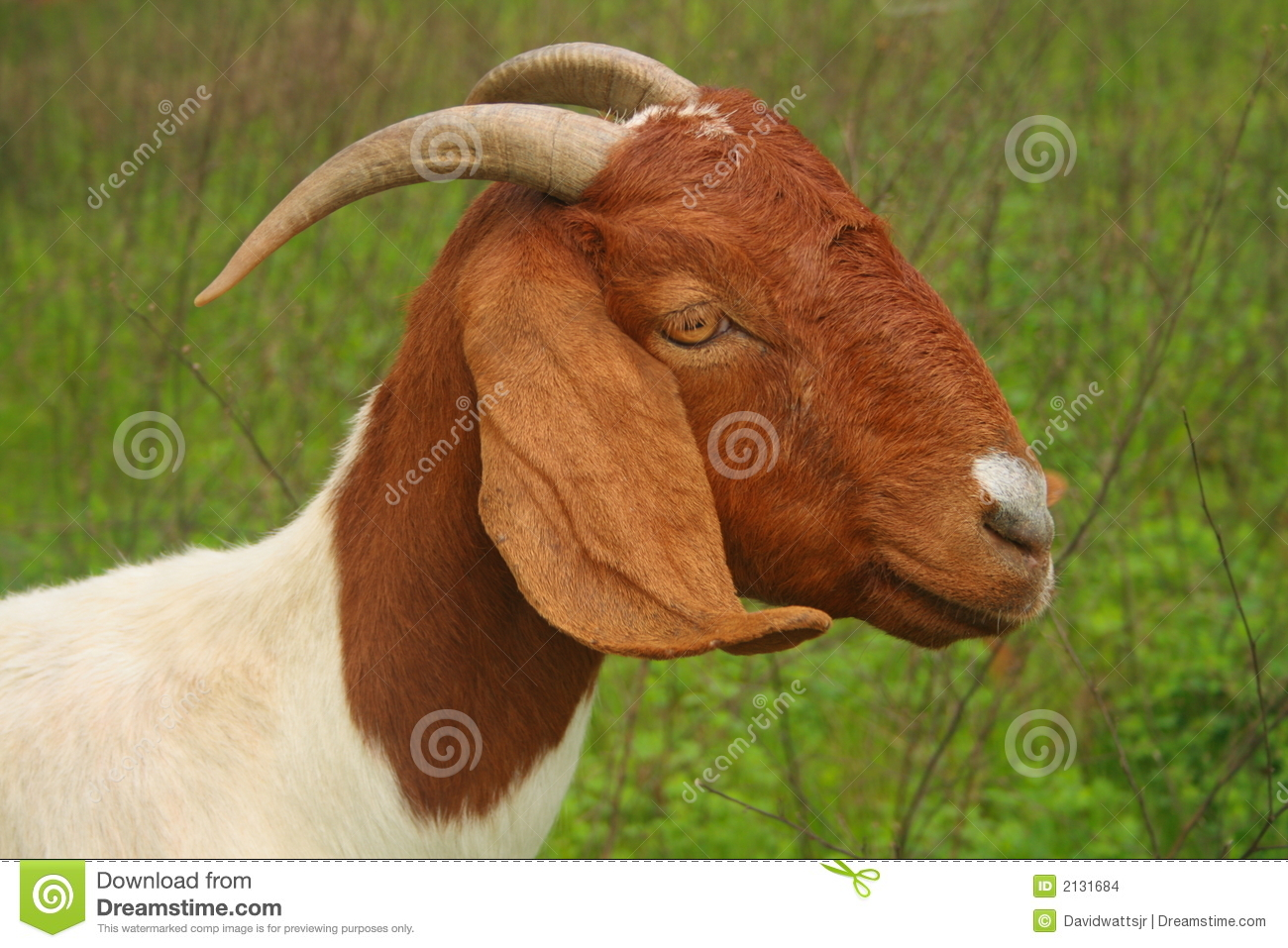 Goat Head Shoulders Stock Photos