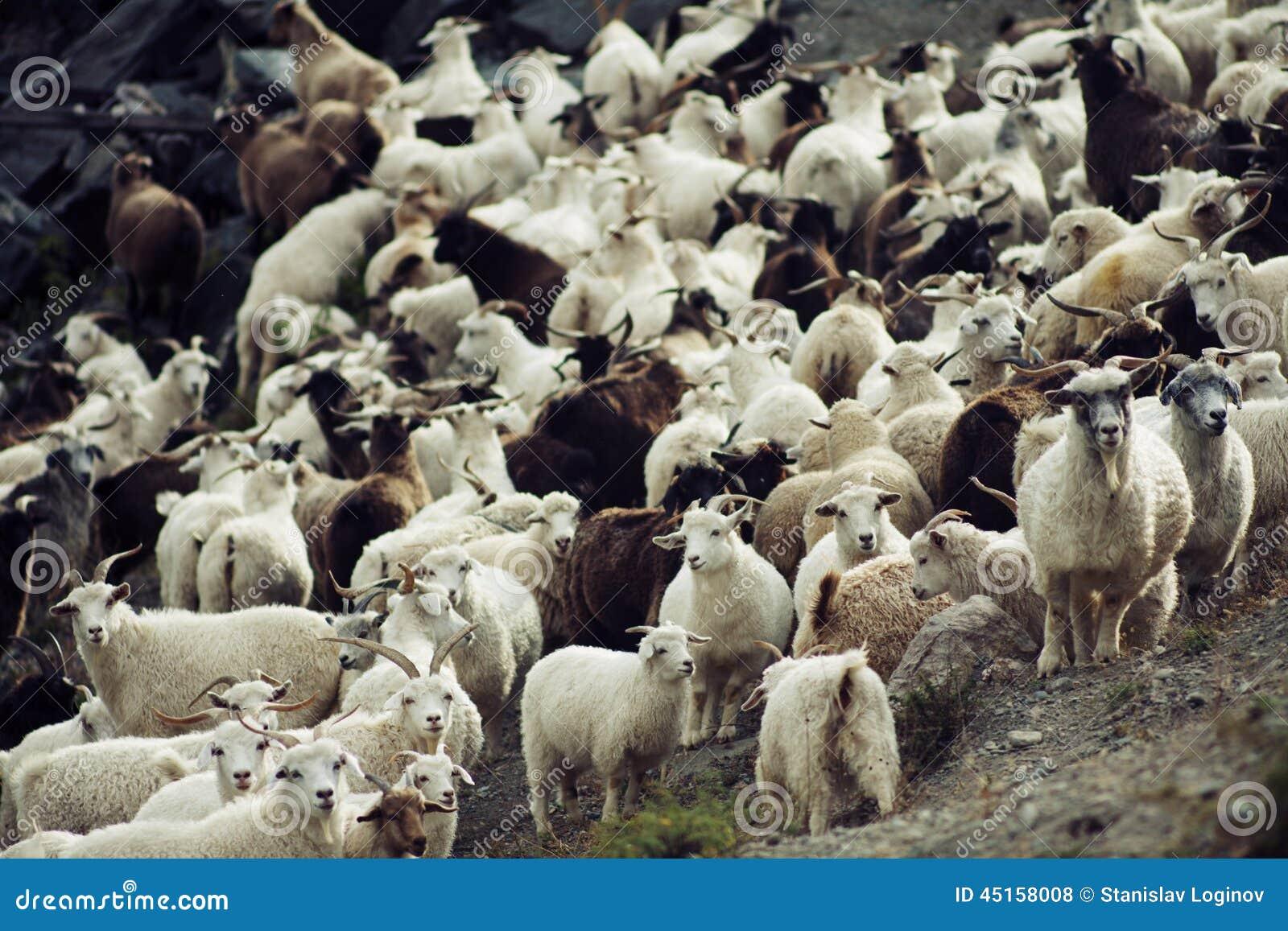 goat herd stock photo image of goat herd sheep portrait 45158008