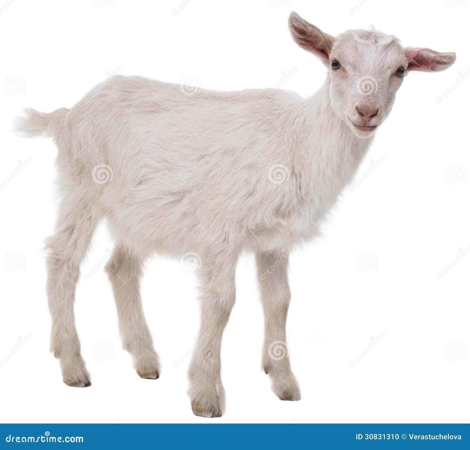 A goat stock photo. Image of goat, seasonal, people, innocence - 30831310  One Goat White Background