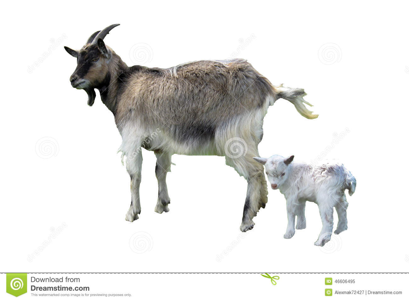 Goat And Kid Isolated On The White Background Stock Image ...