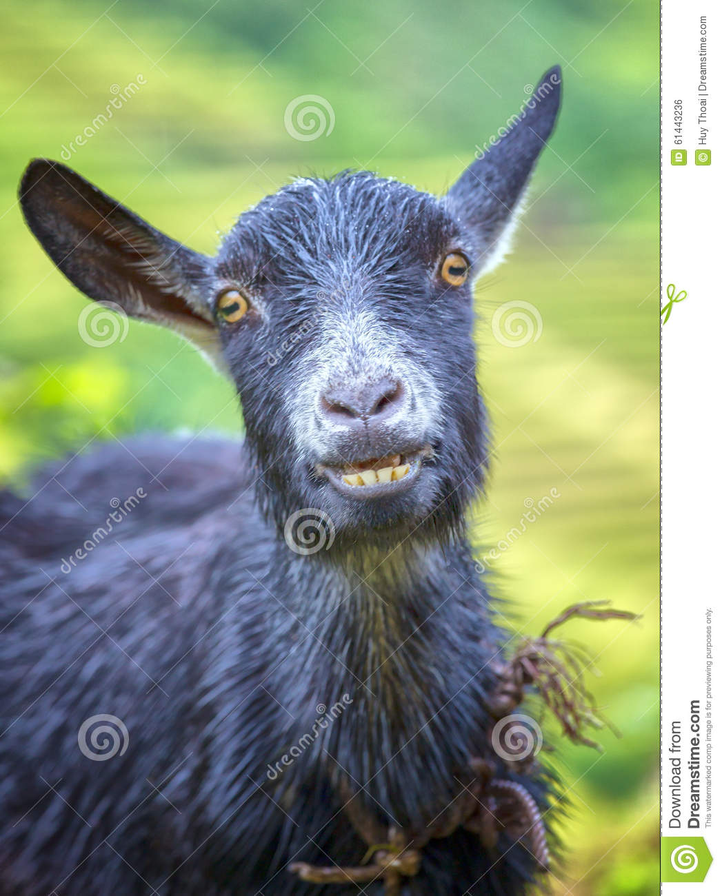 Goat Laugh Stock Photo - Image: 61443236