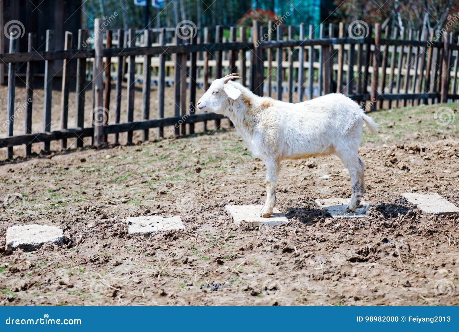 Goat stock photo  Image of goat, nature, baby, livestock