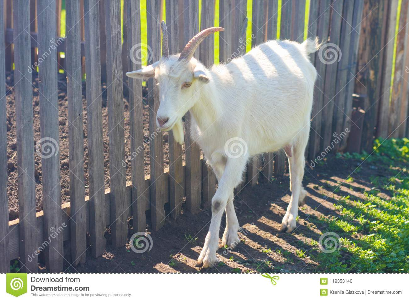 Goat Milk  Benefits And Dietary Stock Photo - Image of goats