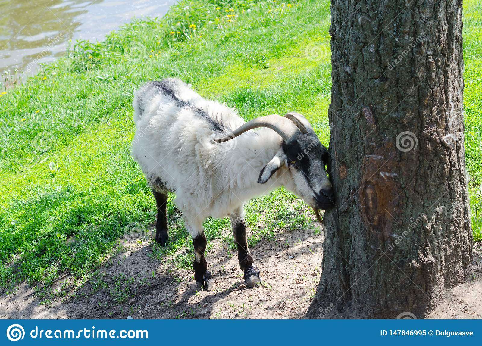 Goat in park about tree