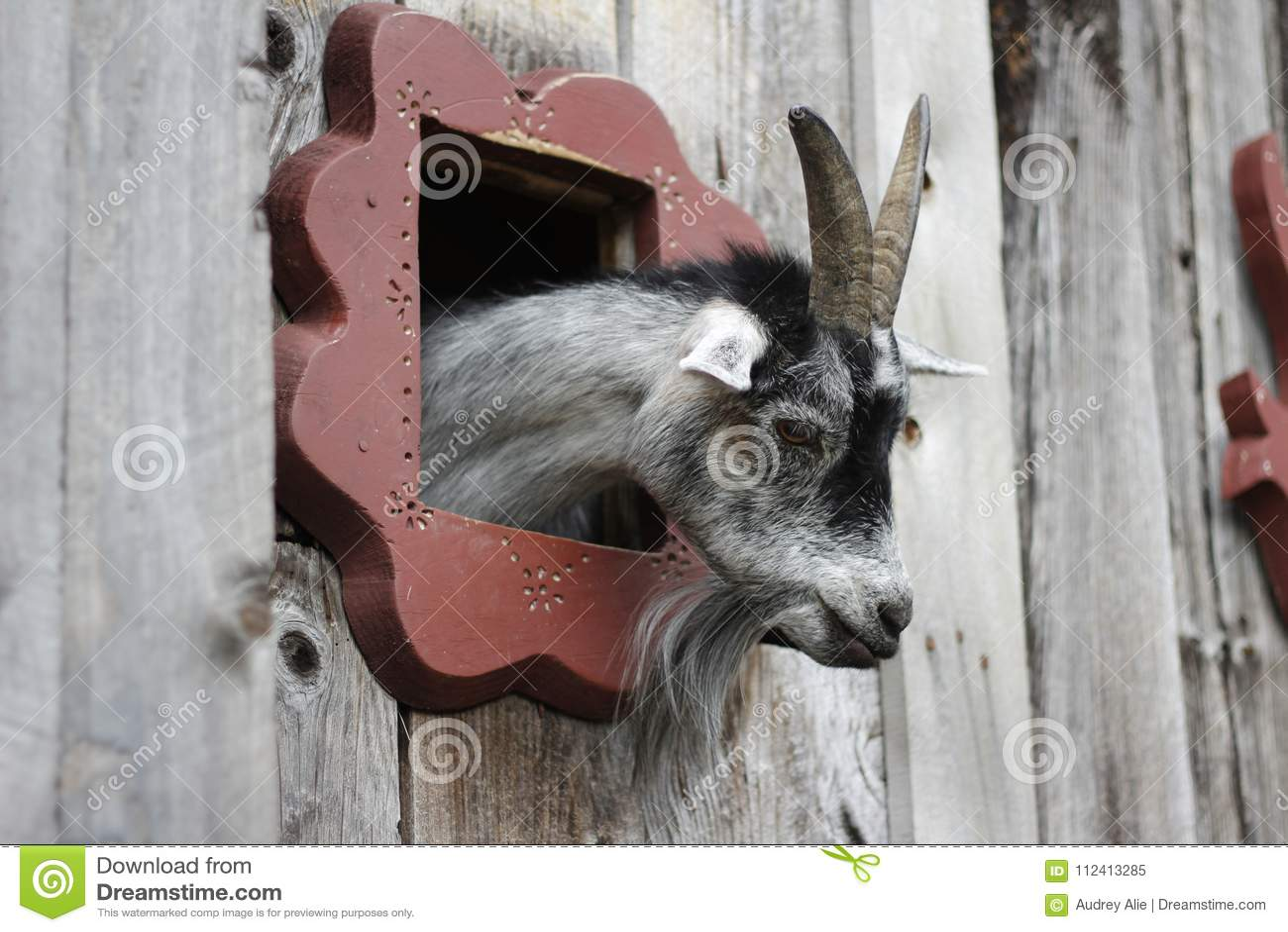 Goat peek-a-boo