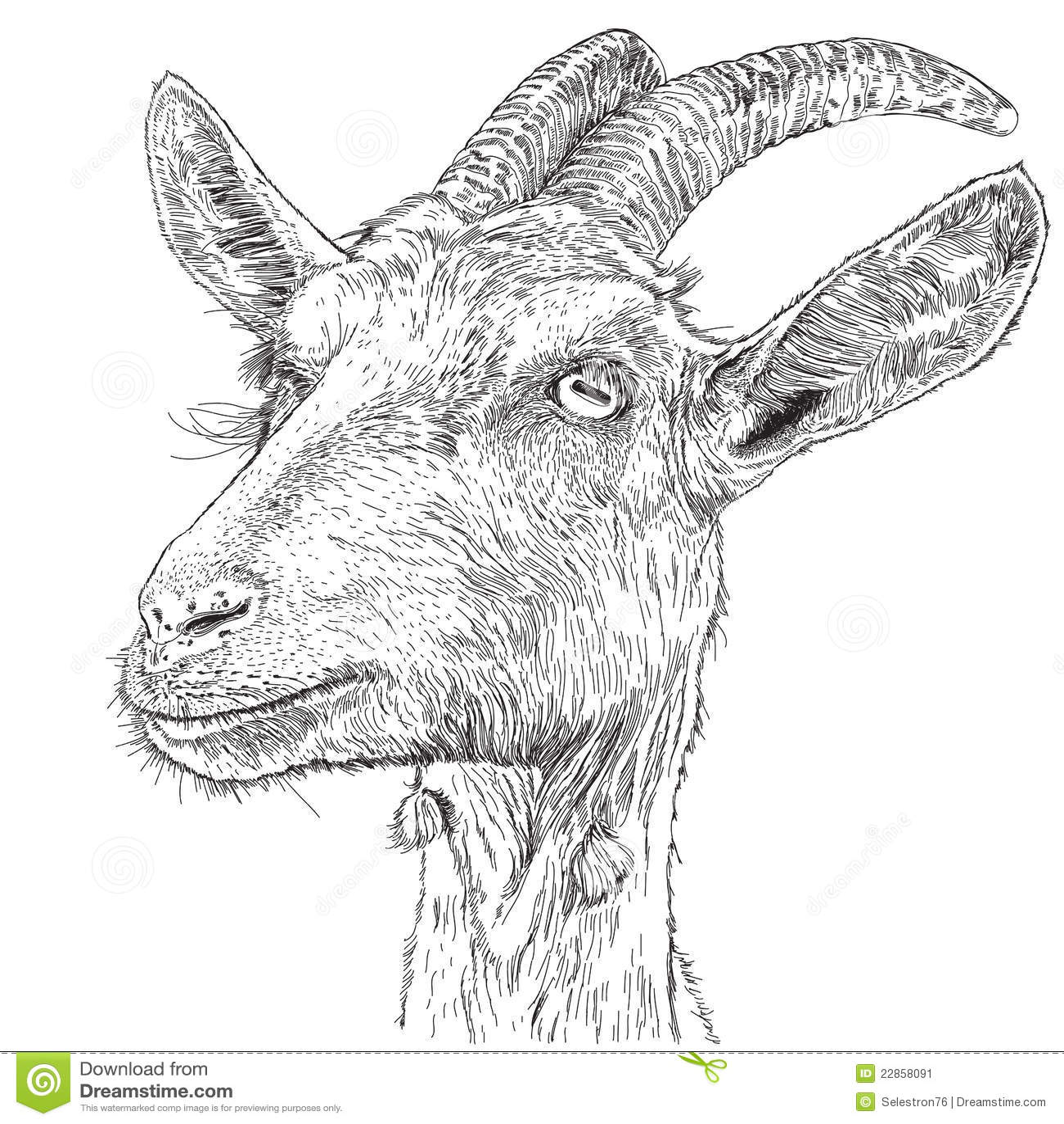 Goat - a portrait stock vector  Illustration of down - 22858091