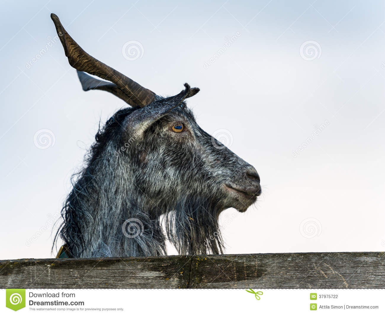 Goat Portrait Profile Stock Photo Image Of Funny Mammal
