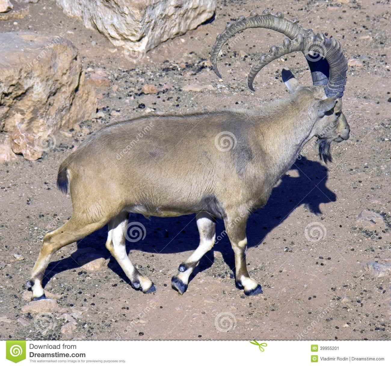 Apologise, but, asian mountain goat share