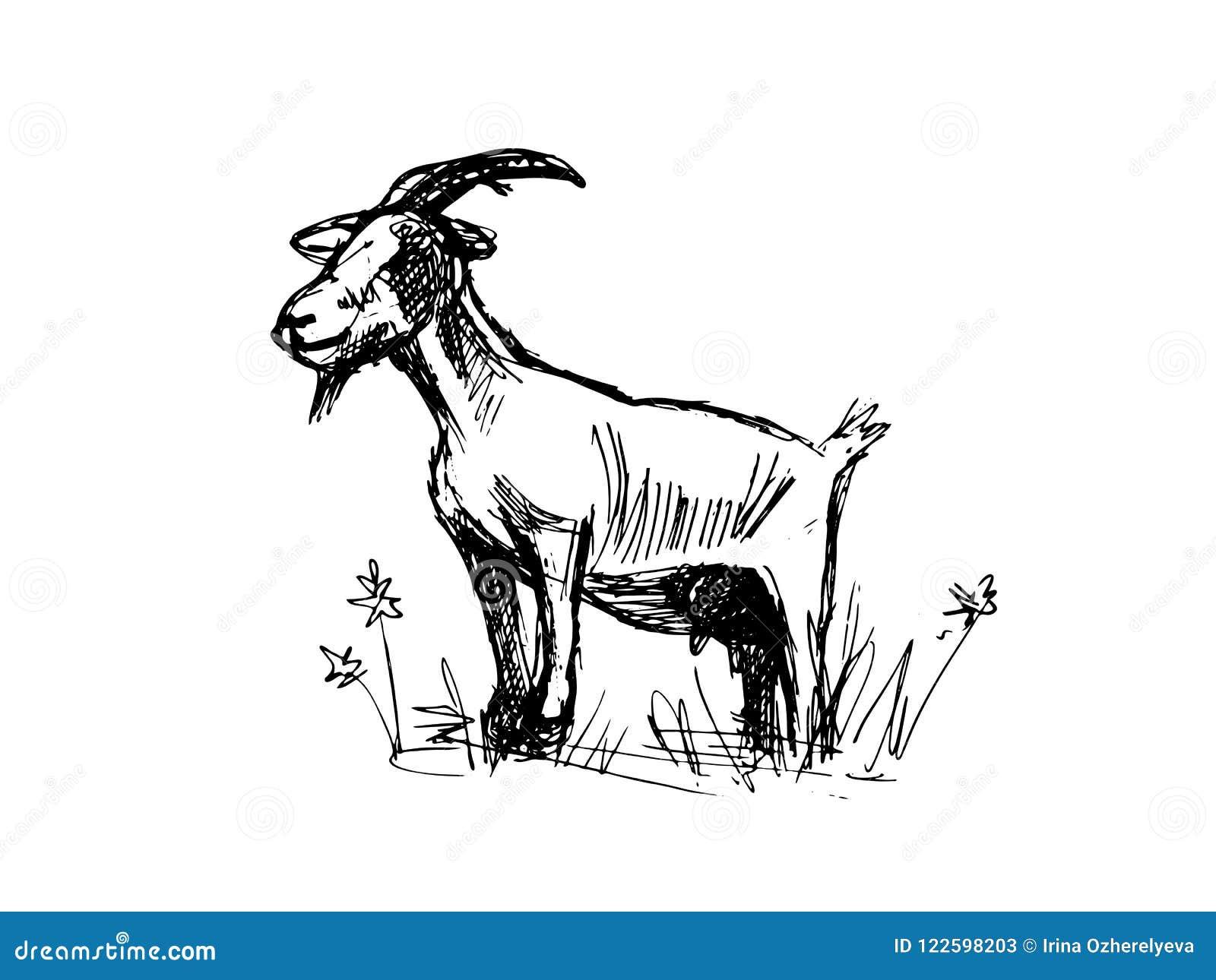 Goat sketch stock illustration  Illustration of mammal