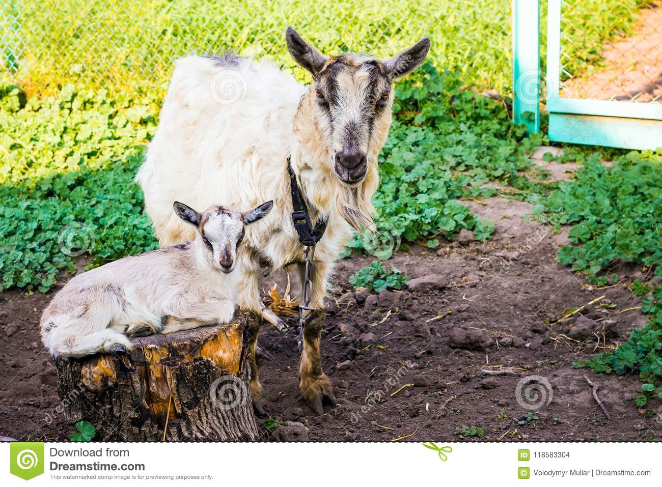 Goat With Small Goat In Garden Of Farm  Breeding Goats Dairy